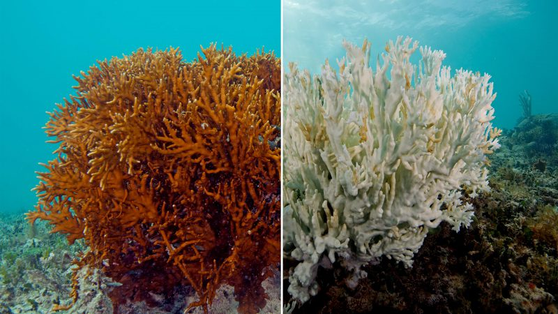 Healthy Coral vs Bleached Coral. Effects Of Sun Cream With Oxybenzone